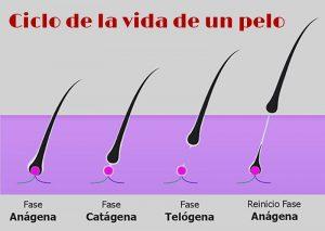 imagen del ciclo de vida del pelo