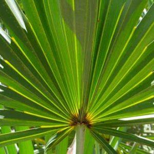 Qué es saw palmetto y para que sirve